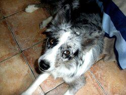 Ienko, chien Border Collie