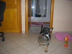Iffa, chien Berger allemand