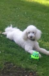 Iffy, chien Caniche