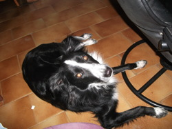 Ifie, chien Border Collie