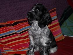 Iggi, chien Cocker anglais
