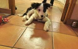 Iggy, chien
