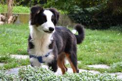 Iggy , chien Berger australien