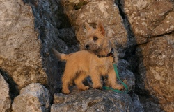 Iggy, chien Cairn Terrier