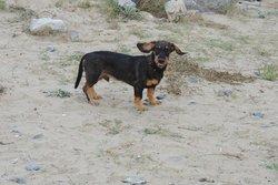 Iggy, chien Teckel