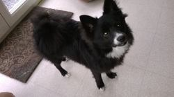 Iggy, chien Spitz japonais