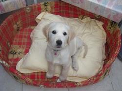 Iggy, chien Labrador Retriever