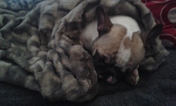Iggy, chien Bouledogue français