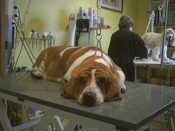 Iggy Lhinnocenthus, chien Basset Hound