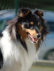 Iggy Pop, chien Berger des Shetland