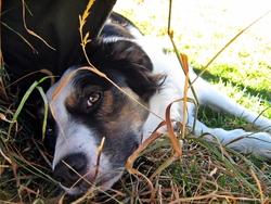 Iggy Pop, chien Border Collie