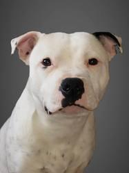 Iggy Pop, chien Staffordshire Bull Terrier