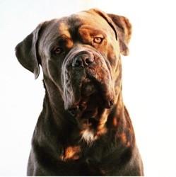 Ighlander, chien Cane Corso