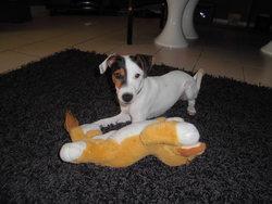 Igles, chien Parson Russell Terrier