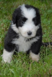 Igloo, chien Bearded Collie
