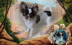 Igloo, chien Chihuahua