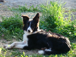 Igloo, chien Border Collie