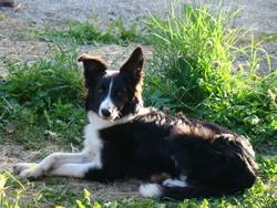 Igloo, chien Border Collie