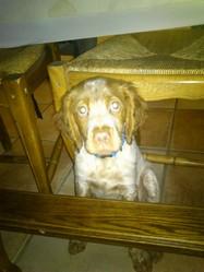 Igloo, chien Épagneul breton