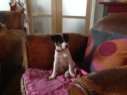 Igloo, chien Jack Russell Terrier