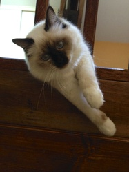 Igloo, chat Birman
