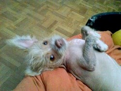 Igloo, chien Chien chinois à crête