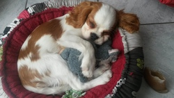 Igloo, chien Cavalier King Charles Spaniel