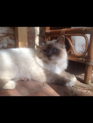 Igloo , chat Birman