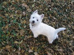 Igloo, chien West Highland White Terrier