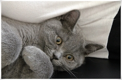 Igloo, chat British Shorthair