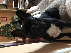 Igloo, chien Bouledogue français