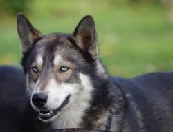 Igloo, chien Husky sibérien
