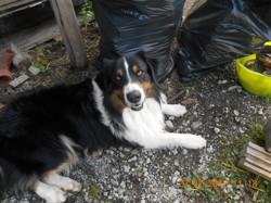 Igloo, chien Berger australien