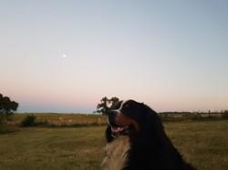 Igloo, chien Bouvier bernois