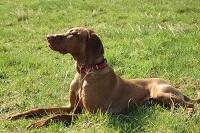 Igmar, chien Braque hongrois à poil court