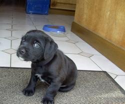 Igor, chien Labrador Retriever