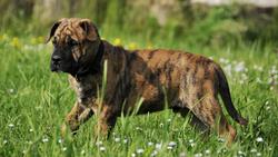 Igor, chien Dogue de Majorque