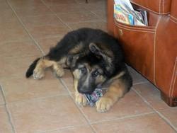 Igor, chien Berger allemand