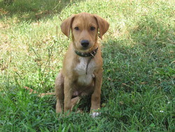 Igor, chien Brachet tyrolien
