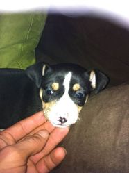 Igor, chien Pinscher