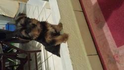 Igor, chien Yorkshire Terrier