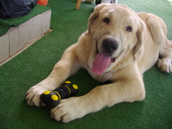 Igor, chien Mâtin espagnol