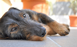 Igor, chien Teckel