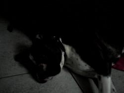Igor, chien Boxer