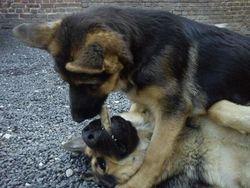 Igor Et Jessie, chien Berger allemand