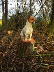 Igor, chien Jack Russell Terrier
