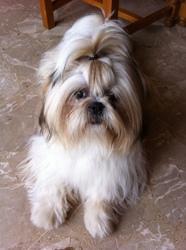 Igor, chien Shih Tzu