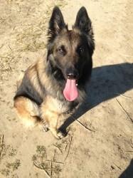 Igor, chien Dobermann