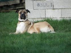 Igor, chien Berger d'Anatolie