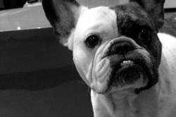 Igor, chien Bouledogue français